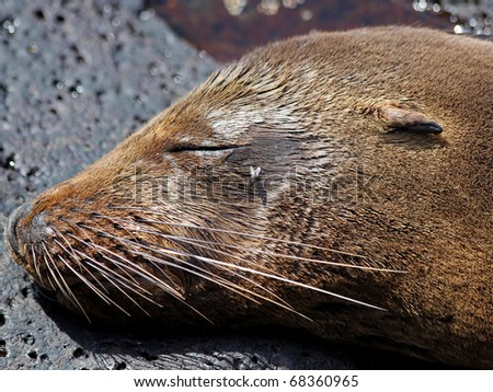 A Galapagos Sea Lion (Zalophus wollebaeki) in the Galapagos Islands
