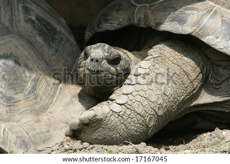 A Galapagos Turtle looking into the camera - stock photo