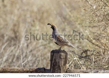 a Gambel's quail at Bosque del Apache, New Mexico - stock photo
