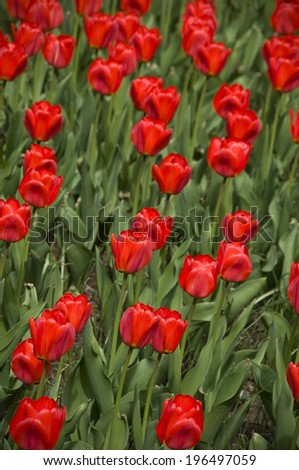 A garden full of bright colored tulips and greenery. - stock photo