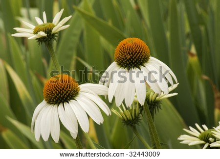 A garden full of white coneflowers or Echinacea, with selective focus - stock photo
