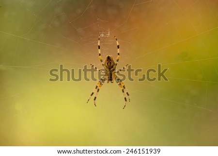 A Garden Spider in the middle of its web - stock photo