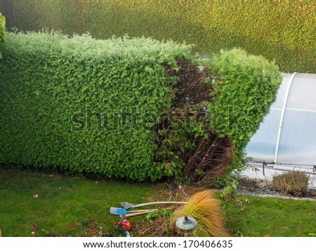 a gardener cuts a thuje. working in the garden. - stock photo