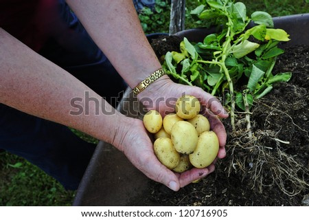 A gardener holding a handful of new potatoes, just dug up from the garden. Soil and potato plants in the background. - stock photo