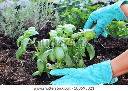 A gardener's gloved hand planting Basil with a small trowel in a herb garden with rich composted soil. - stock photo