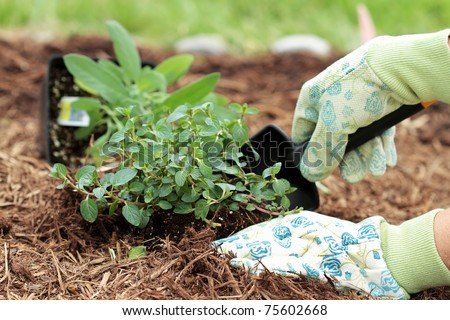A gardener's gloved hand planting Chocolate Mint with a small trowel in a herb garden. - stock photo