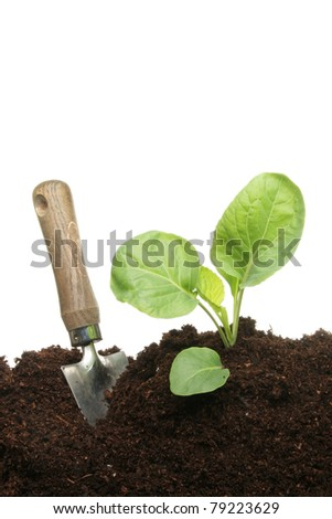 A gardening trowel next to a seedling cabbage plant in compost - stock photo