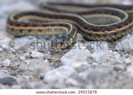 A garter snake crawling on gravel and sand. - stock photo