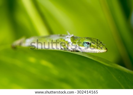 A Gecko shedding its old skin rests on a tree leaf in a Hawaiian rainforest. - stock photo
