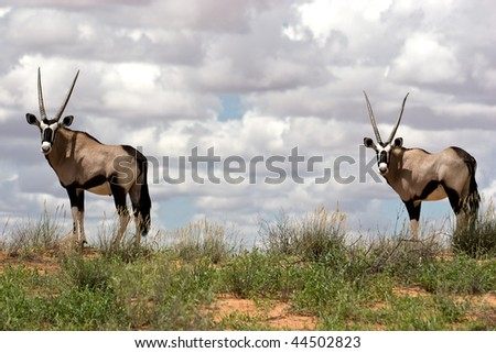 A gemsbok antelope (Oryx) on a red sand dune, Kalahari, South Africa - stock photo