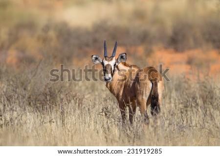 A Gemsbok fawn (Oryx gazella) standing in the Kalahari desert, against a blurred natural background, South Africa - stock photo