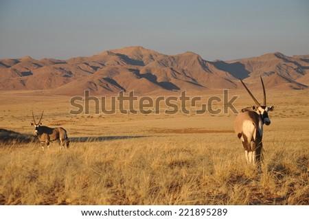 A Gemsbok in Namibia - stock photo
