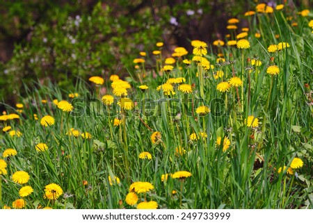 A gentle slope covered with blooming yellow dandelion carpet - stock photo