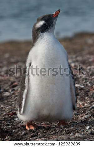 A Gentoo penguin chick (Pygoscelis papua) sits near its nest at a rookery in the South Shetland Islands near Antarctica.  It waits for one of its parents to bring it food. - stock photo