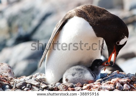 A Gentoo Penguin mother is feeding regurgitated meal to her newborn chick at a penguin colony at Gonzalez Videla Antarctic Base, Paradise Bay, Antarctic. - stock photo