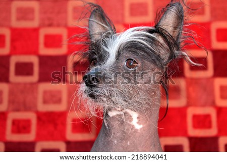 A genuine Hairless Chinese Crested Dog poses in front of a Roll of 1970 era Wall Paper for a unique background. Chinese Crested Dogs Love to chase birds and cats and sit on your lap for tummy rubs - stock photo