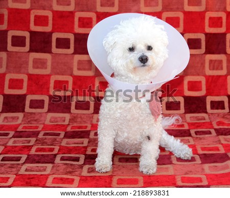 A genuine Pure Breed Bichon Frise dog, wears her Elizabethan Collar after surgery to remove old lady dog warts, to keep her from chewing out her stitches. Dogs can develop warts with old age.   - stock photo