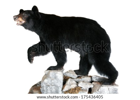 A Genuine Stuffed North American Black Bear AKA Ursus Americanus standing on rocks. Isolated on white with room for your text. Black Bears are they are on the official flag of California - stock photo