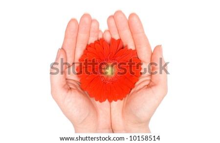 A Gerbera being held. - stock photo