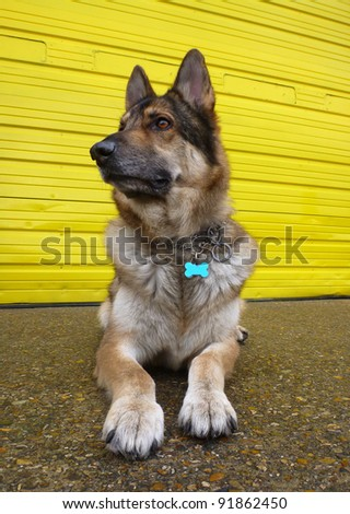 A German Shepherd Dog lying down on concrete against a bright yellow door.  Taken in vertical format with a wide angle lens. - stock photo