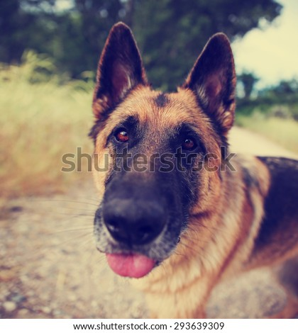 a german shepherd dog out in nature looking at a ball to be thrown with his tongue out - close up toned with a retro vintage instagram filter app or action effect - stock photo