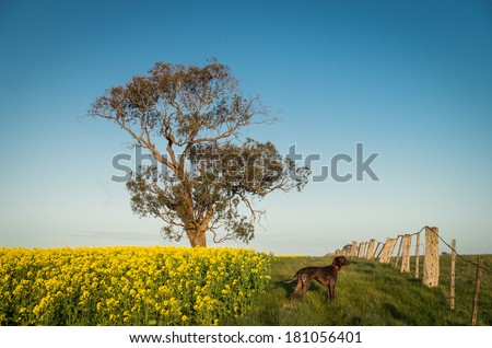 A German Shorthaired Pointer dog standing next to a canola field.  A single eucalyptus tree stands in the background. - stock photo