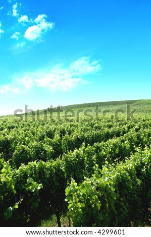 a german vineyard near the rhein river