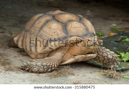 A giant African spurred tortoise - stock photo