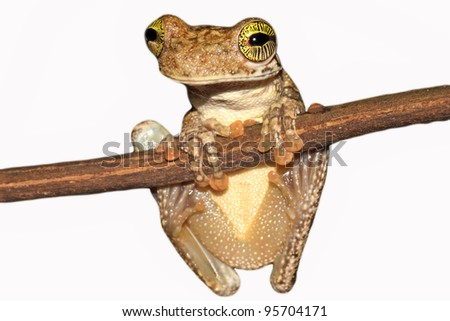 A Giant Broad-headed Treefrog (Osteocephalus taurinus) in the Peruvian Amazon Isolated on white with lots of space for text - stock photo