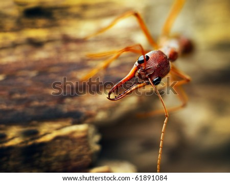 A giant bulldog ant (Myrmecia brevinoda) from the tropical rainforest of Australia. One of the biggest ants in the world - stock photo