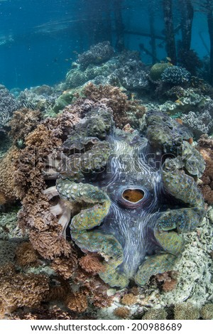 A Giant clam (Tridacna gigas) grows near a pier in Raja Ampat, Indonesia. This is the larges bivalve in the world and is an endangered species. - stock photo