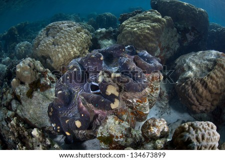 A Giant clam (Tridacna gigas) grows on a shallow coral reef in the western Pacific.  This species is endangered. - stock photo