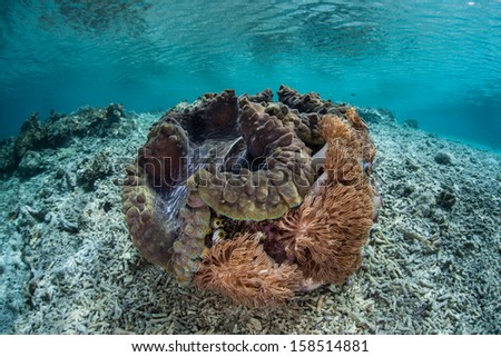 A Giant clam (Tridacna gigas) grows on a shallow rubble slope in Raja Ampat, Indonesia. This species is endangered. - stock photo