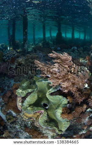 A giant clam (Tridacna gigs) grows in shallow water near a pier in Raja Ampat, Indonesia.  This region is known for its excellent scuba diving and it high marine biological diversity. - stock photo