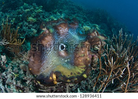A giant clam (Tridacna gigs) grows on a coral reef in Raja Ampat, Indonesia.  This endangered species is the largest bivalve in the world. - stock photo