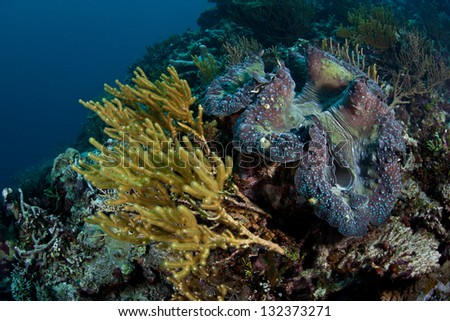 A giant clam (Tridacna gigs) grows on a coral reef slope in Raja Ampat, Indonesia.  This huge bivalve is an endangered species. - stock photo