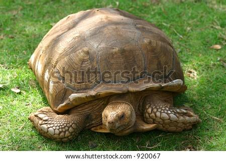 A giant Galapagos tortoise - stock photo