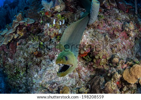 A Giant green moray eel (Gymnothorax funebris) explores a diverse coral reef off the coast of Belize. This large eel is found throughout the Caribbean Sea and is one of the larger predators on reefs. - stock photo