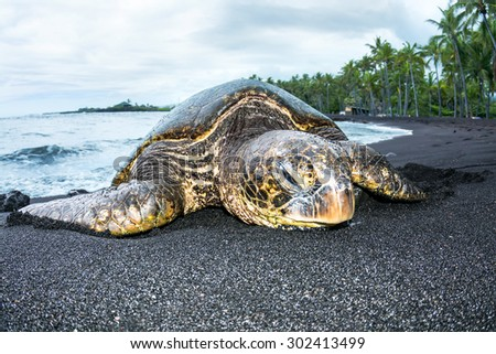 A giant green turtle on a Hawaiian black sand tropical beach crawling out of the water for a rest.  - stock photo