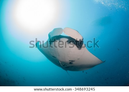 A giant oceanic manta ray swimming above in clear blue water - stock photo