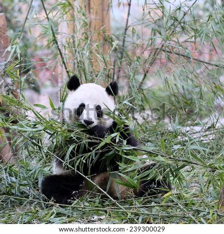 A Giant Panda Bear Feeding on Bamboo  - stock photo