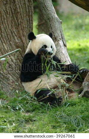 A Giant panda eating grass in a field with a tree and grass