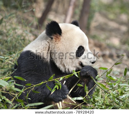 A Giant panda is eating  bamboo leaves.