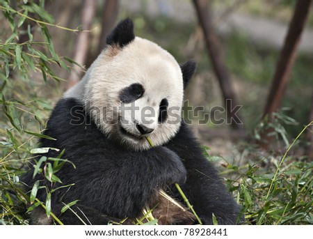 A Giant panda is eating  bamboo leaves. - stock photo