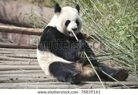 A Giant panda is eating green bamboo leaves. - stock photo