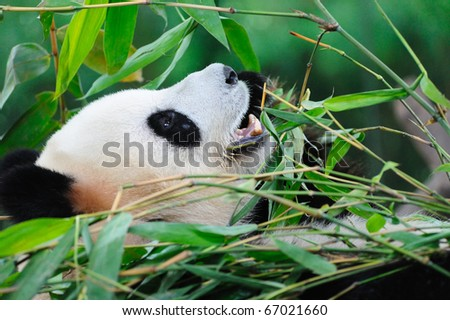 A giant panda lying on the ground and eating bamboo - stock photo