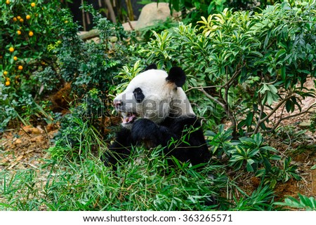 A giant panda (or panda bear, Ailuropoda Melanoleuca) is eating bamboo sticks in Singapore zoo. An adult panda eats about 20kg of bamboo a day (the weight of 100 bowls of rice). Soft and shallow focus