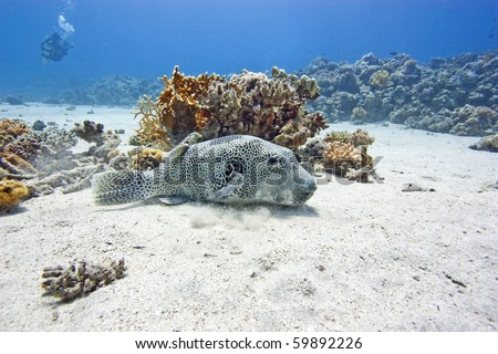A Giant Pufferfish rests on the seabed of a sandy lagoon surrounded by coral whilst a SCUBA Diver swims in the background - stock photo