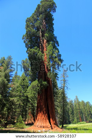 A Giant Redwood in Sequoia National Park Towers Above the Rest - stock photo
