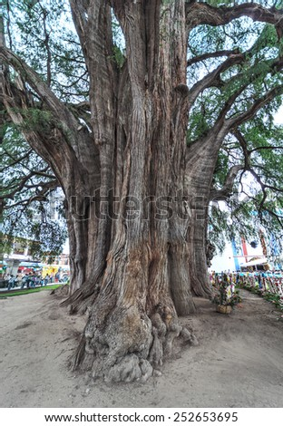 A giant tree - Tule, Mexico, Latin America - stock photo